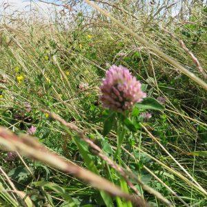 Wildflower Meadow (80:20) Mixes