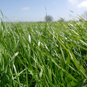 Grass Leys for Cutting and Grazing