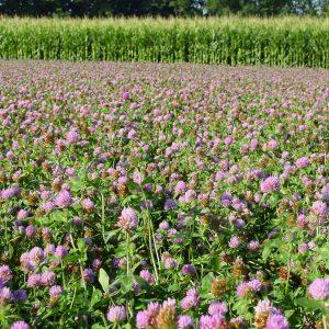 Green Manure Crops - Straights