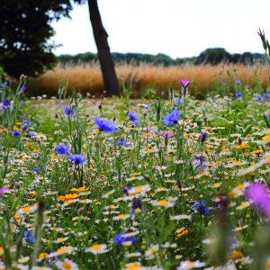 Wildflower Drifts